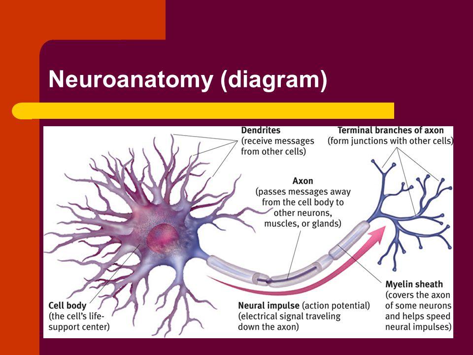 Neuroanatomy (diagram)