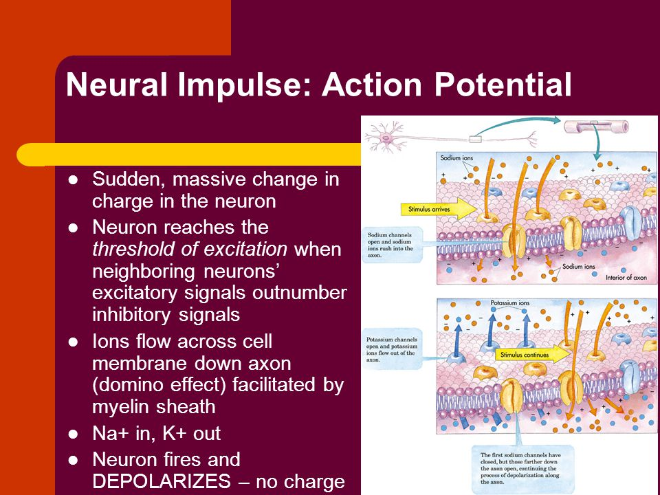 Neural Impulse: Action Potential