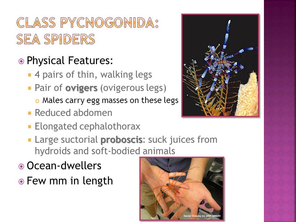 CLass Pycnogonida: Sea Spiders