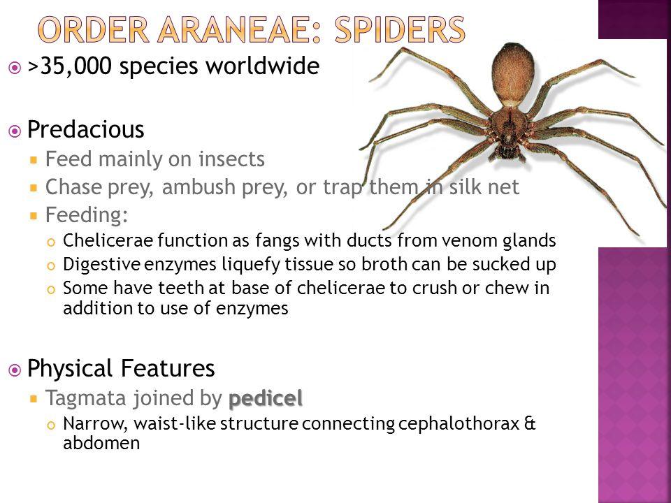 Order Araneae: Spiders