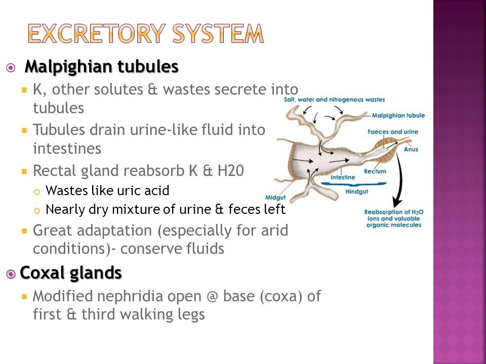 Excretory System Malpighian tubules Coxal glands