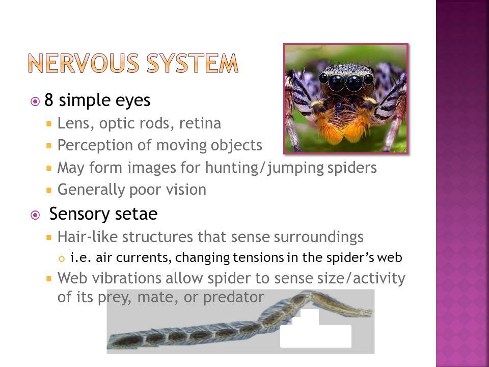 Nervous system 8 simple eyes Sensory setae Lens, optic rods, retina