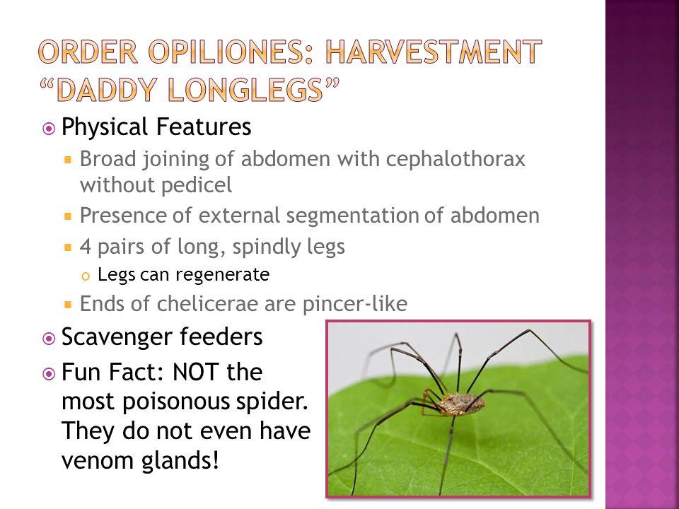Order Opiliones: Harvestment Daddy longlegs