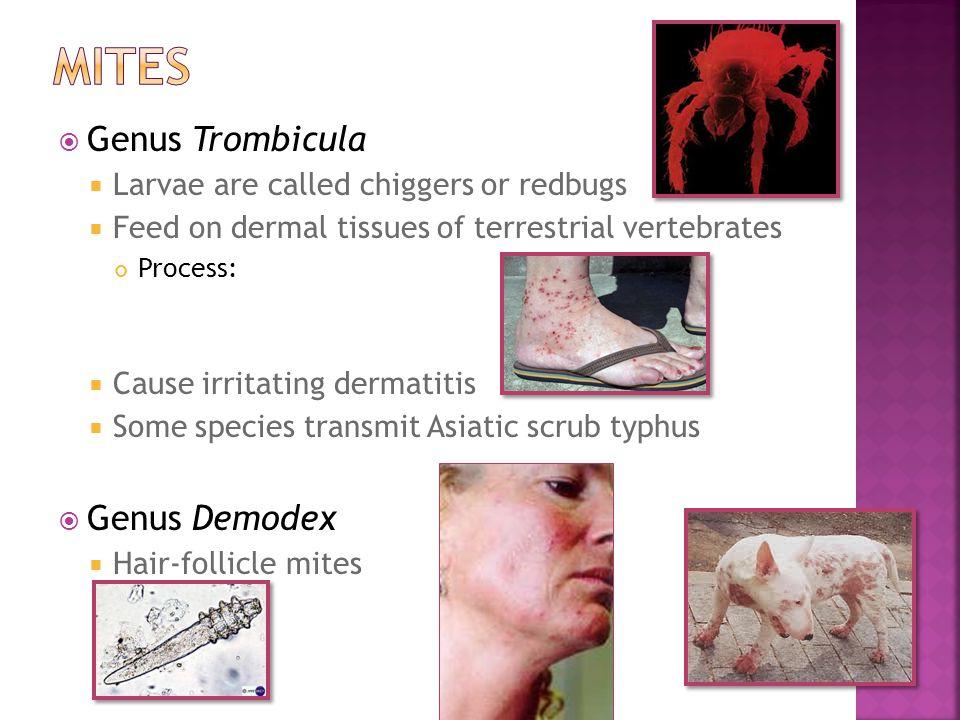 Mites Genus Trombicula Genus Demodex