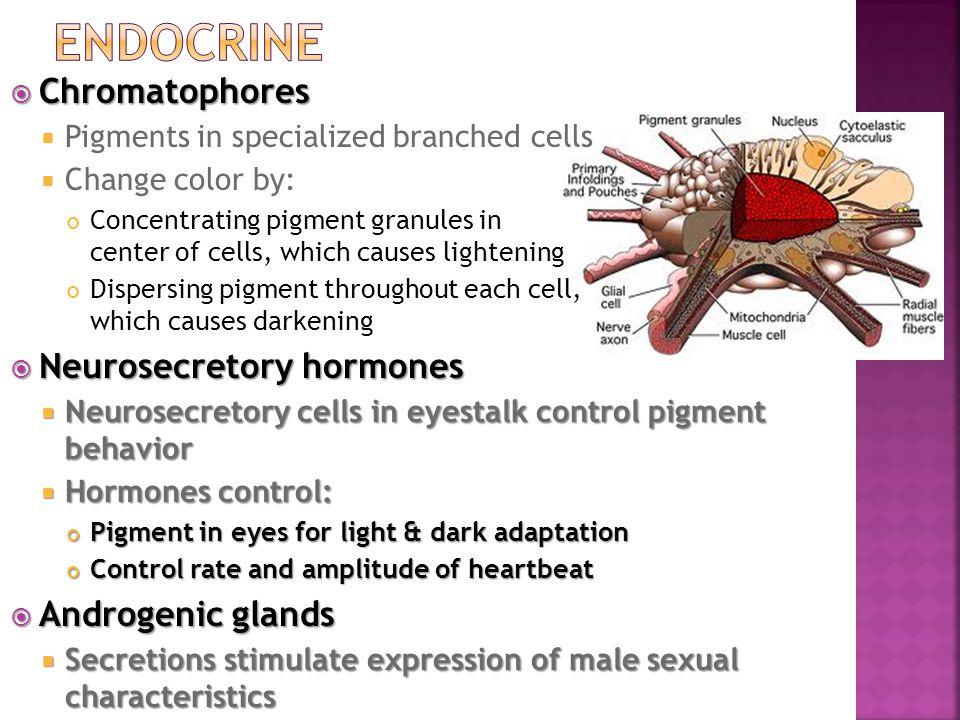 Endocrine Chromatophores Neurosecretory hormones Androgenic glands