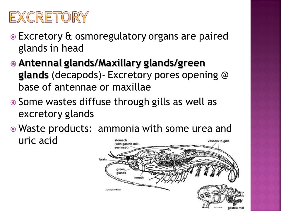 Excretory Excretory & osmoregulatory organs are paired glands in head