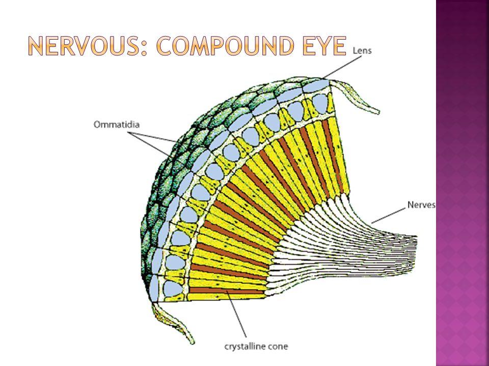 Nervous: Compound Eye