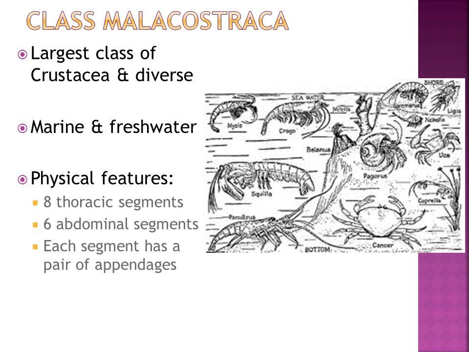 Class Malacostraca Largest class of Crustacea & diverse