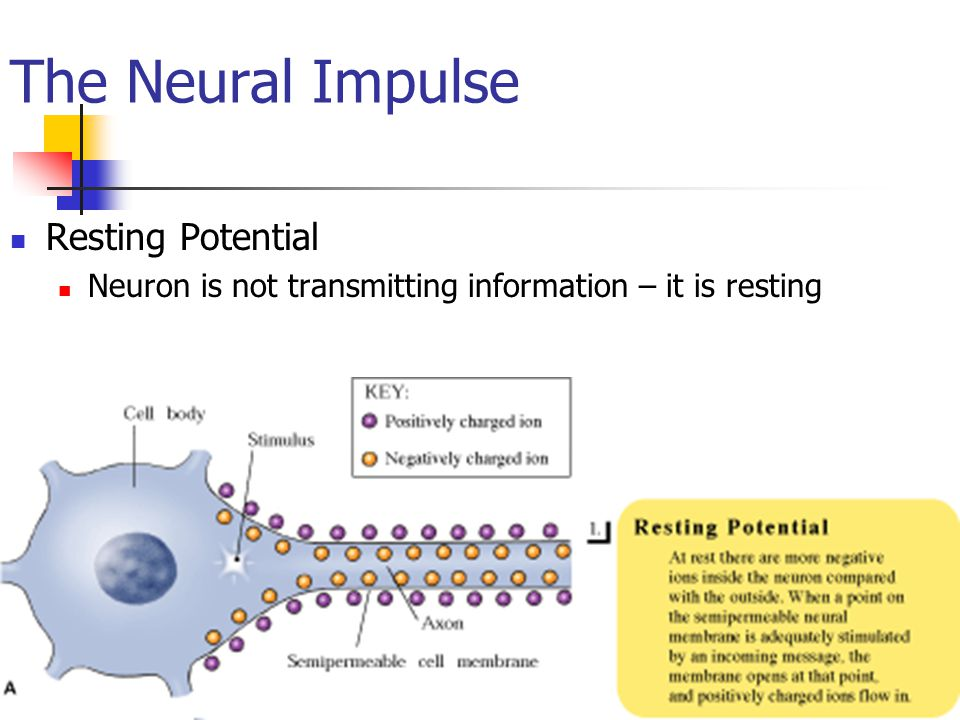 The Neural Impulse Resting Potential