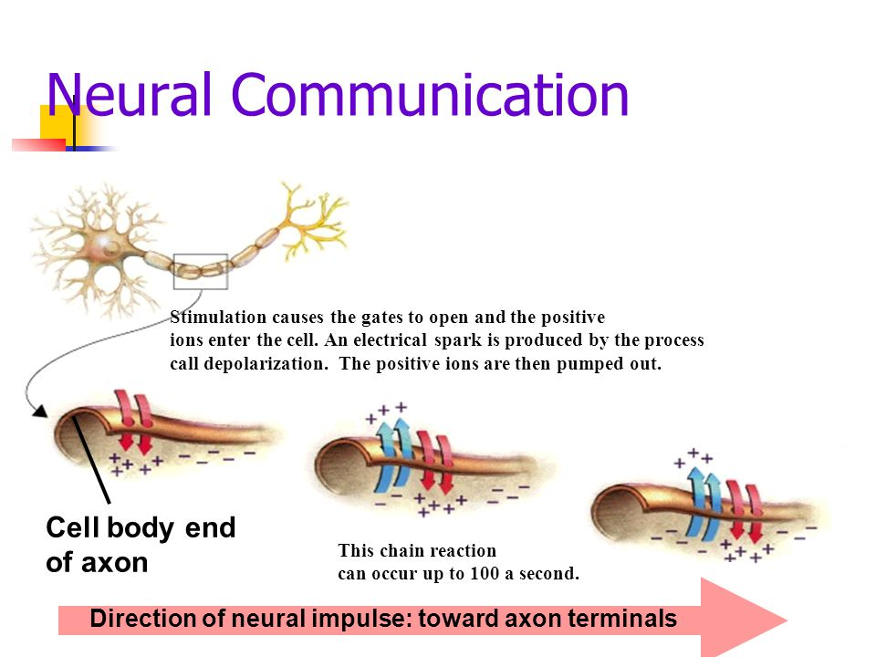 Neural Communication Cell body end of axon