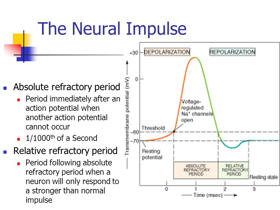 The Neural Impulse Absolute refractory period