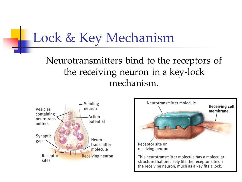 Lock & Key Mechanism Neurotransmitters bind to the receptors of the receiving neuron in a key-lock mechanism.