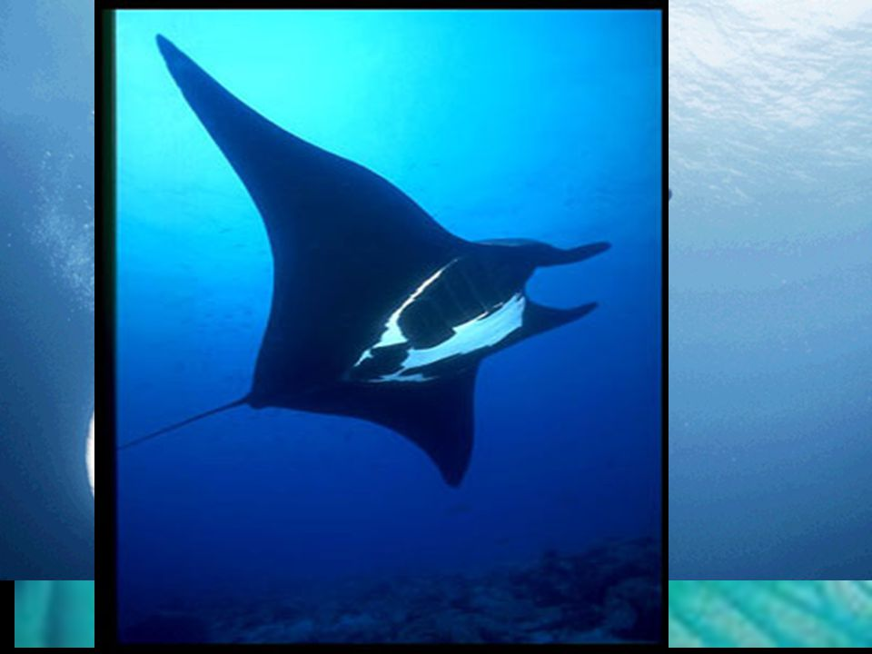 c. Types of rays 1) Manta ray -> largest of all rays; 24ft wing span ; plankton feeder; very, very peaceful;