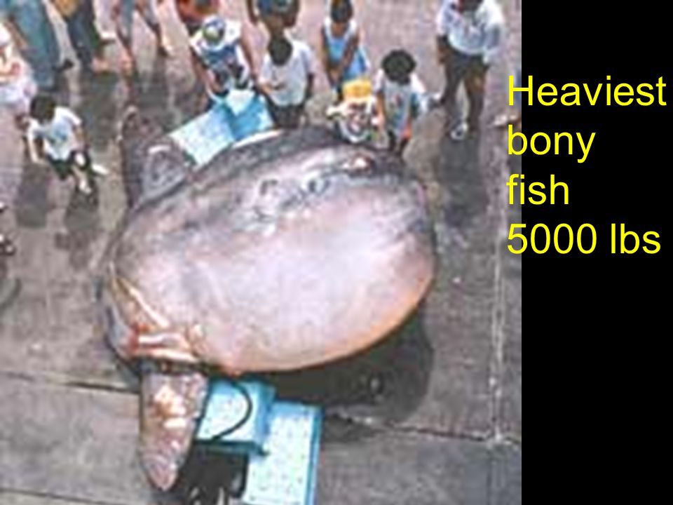 Heaviest bony fish 5000 lbs
