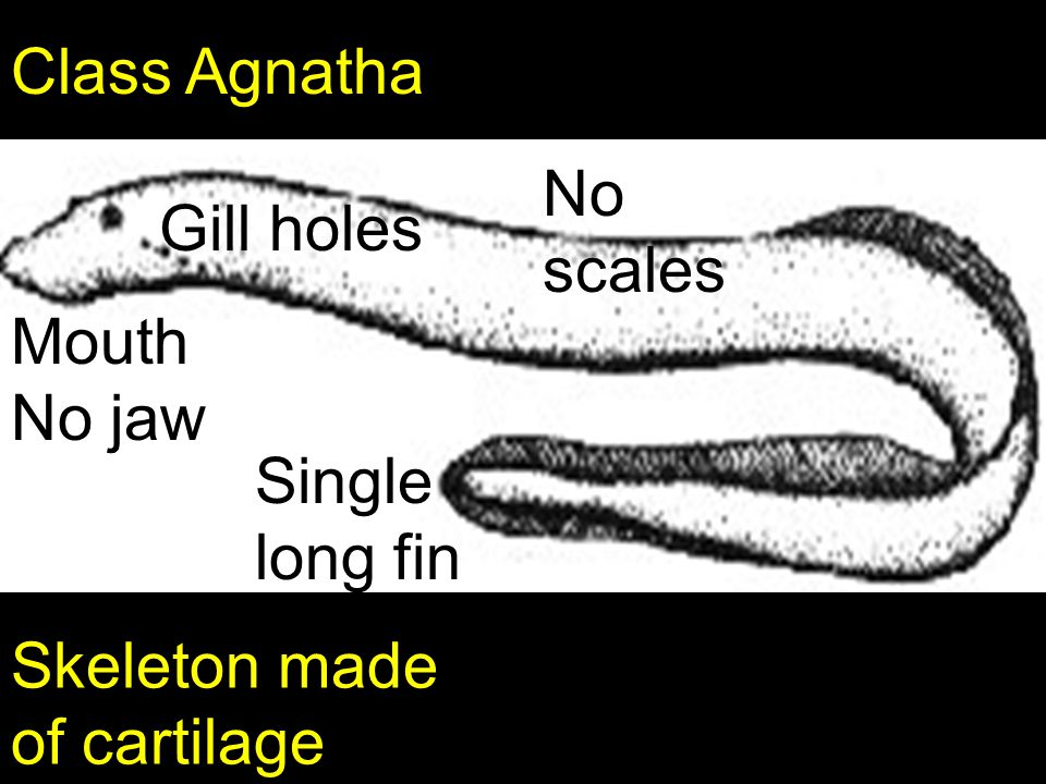 Class Agnatha No scales Gill holes MouthNo jaw Single long fin Skeleton made of cartilage