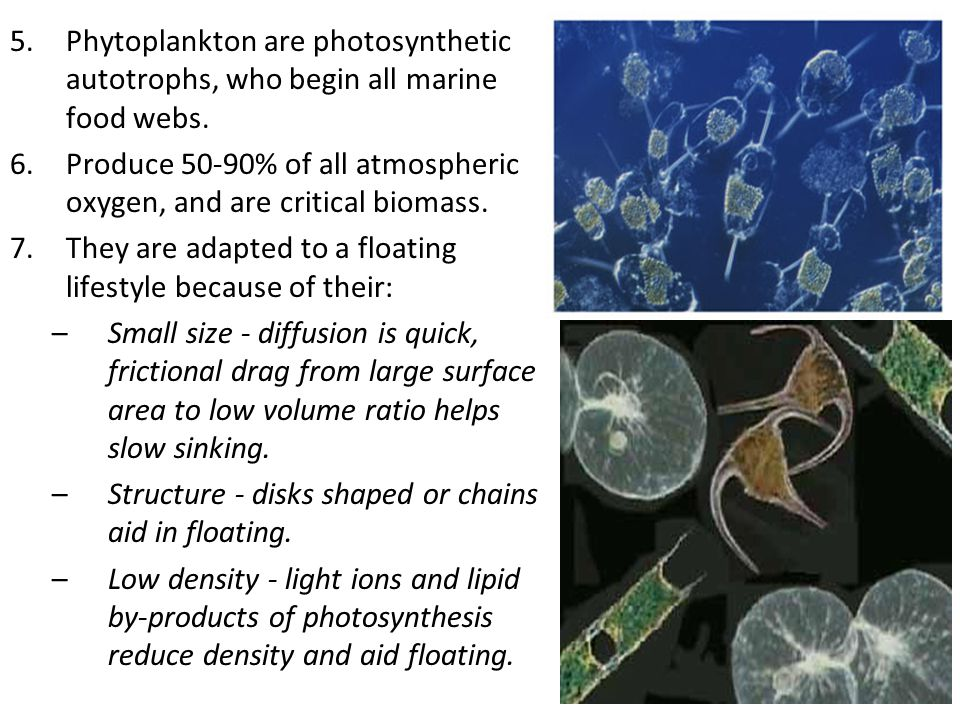 Phytoplankton are photosynthetic autotrophs, who begin all marine food webs.