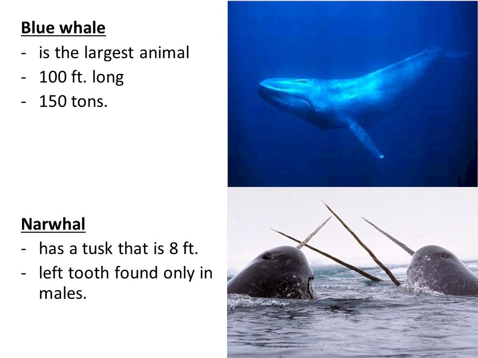 Blue whale is the largest animal. 100 ft. long.