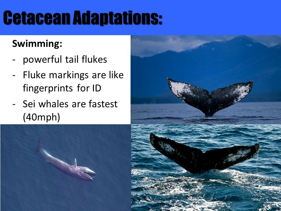 Cetacean Adaptations: