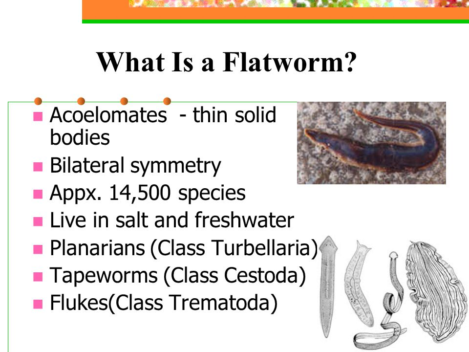 What Is a Flatworm Acoelomates - thin solid bodies Bilateral symmetry