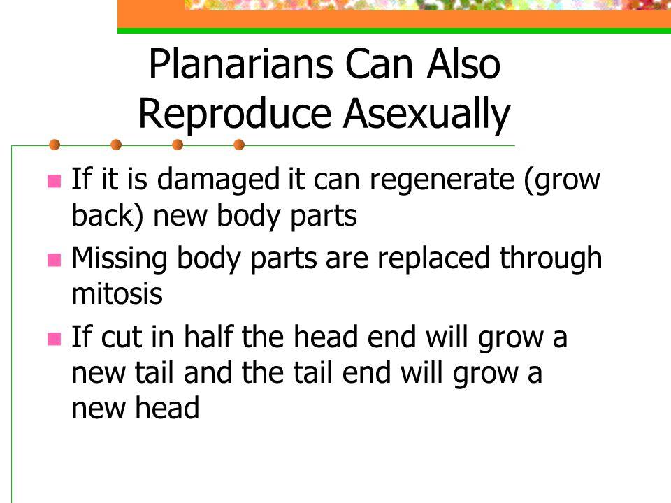 Planarians Can Also Reproduce Asexually