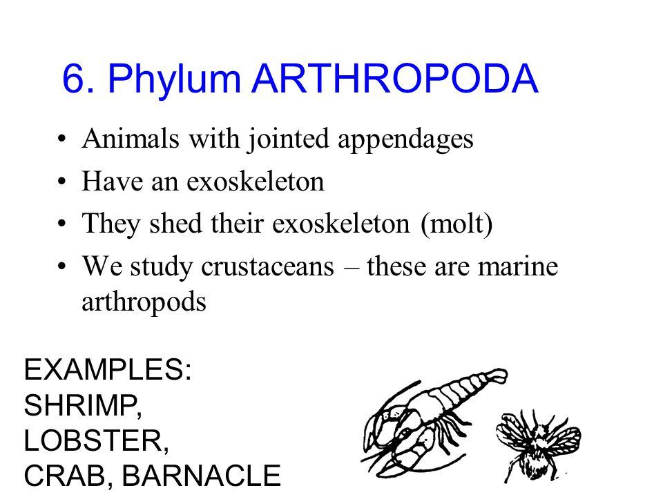 6. Phylum ARTHROPODA Animals with jointed appendages