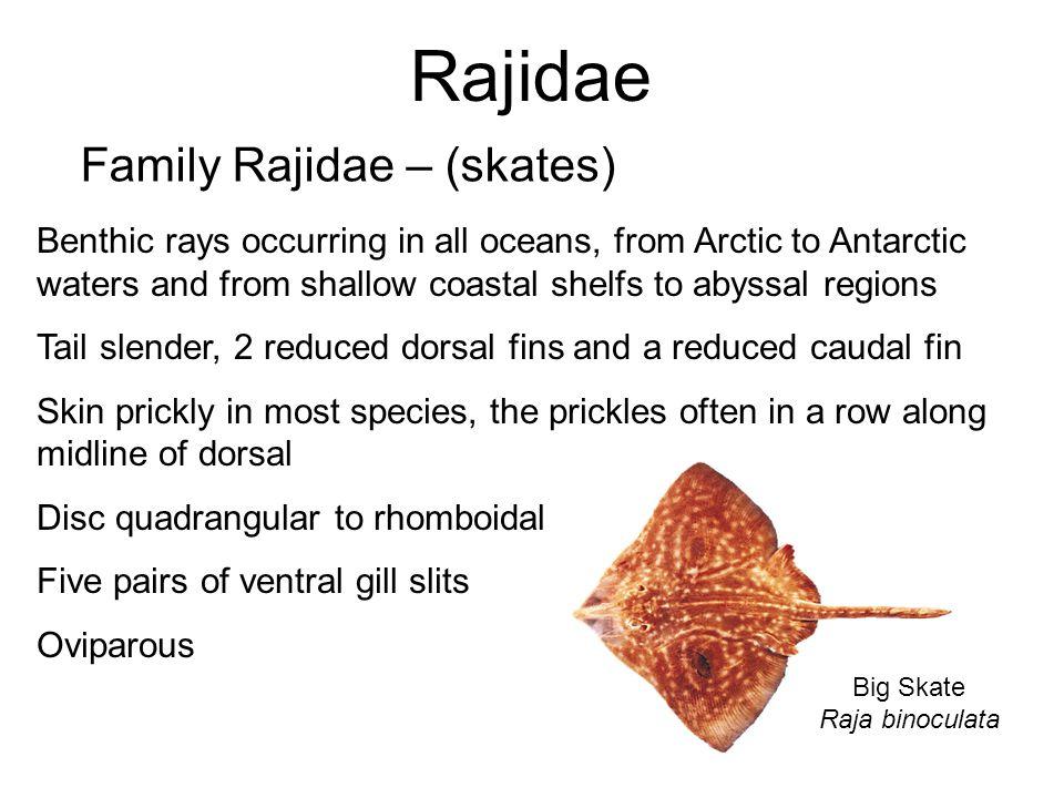 Rajidae Family Rajidae – (skates)