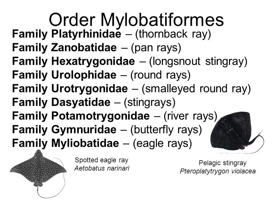 Pteroplatytrygon violacea