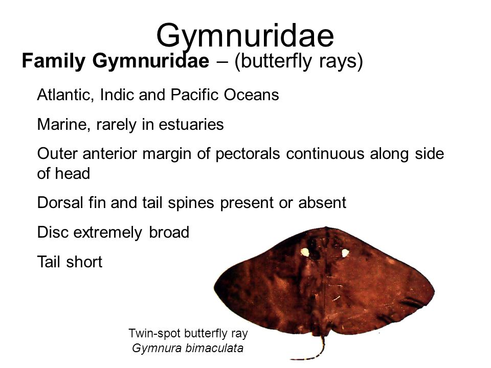 Twin-spot butterfly ray