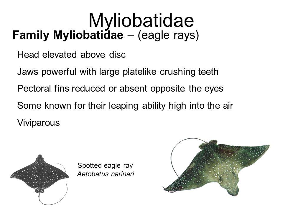Myliobatidae Family Myliobatidae – (eagle rays)