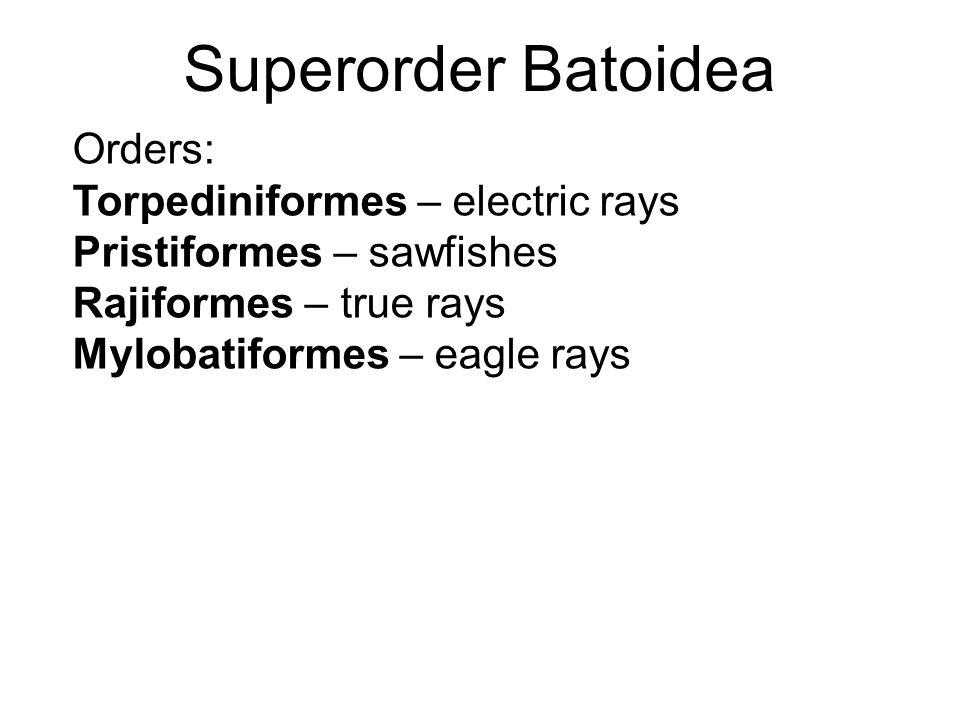 Superorder Batoidea Orders: Torpediniformes – electric rays