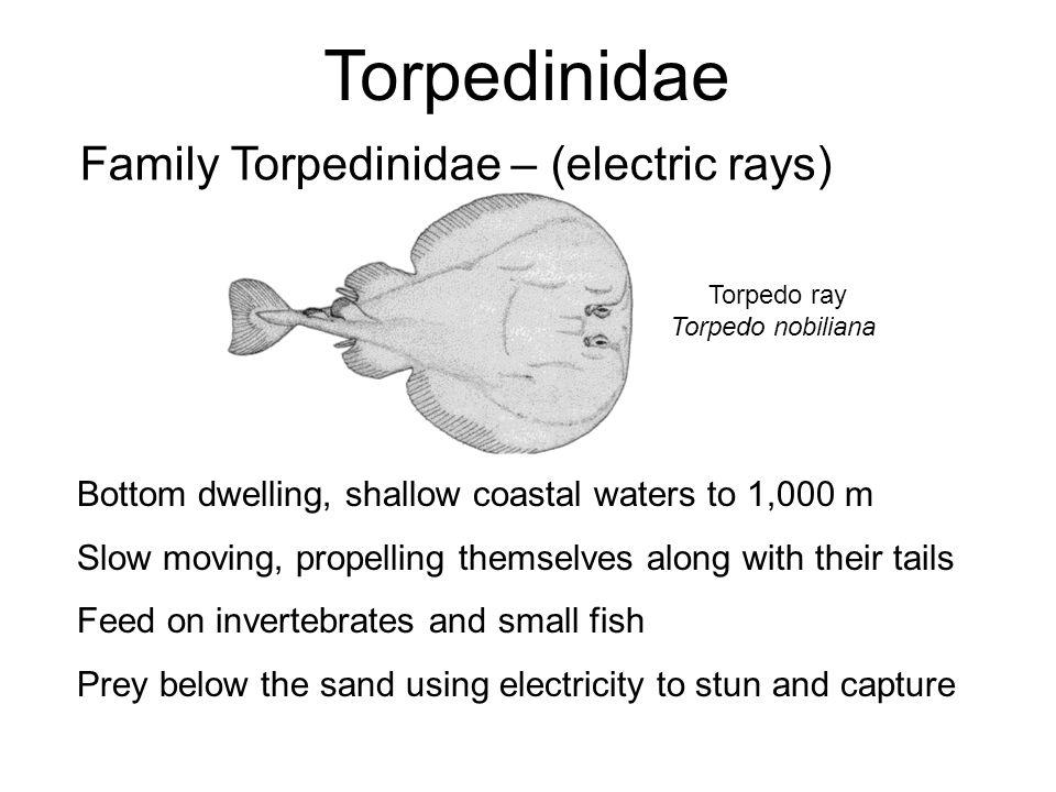 Torpedinidae Family Torpedinidae – (electric rays)