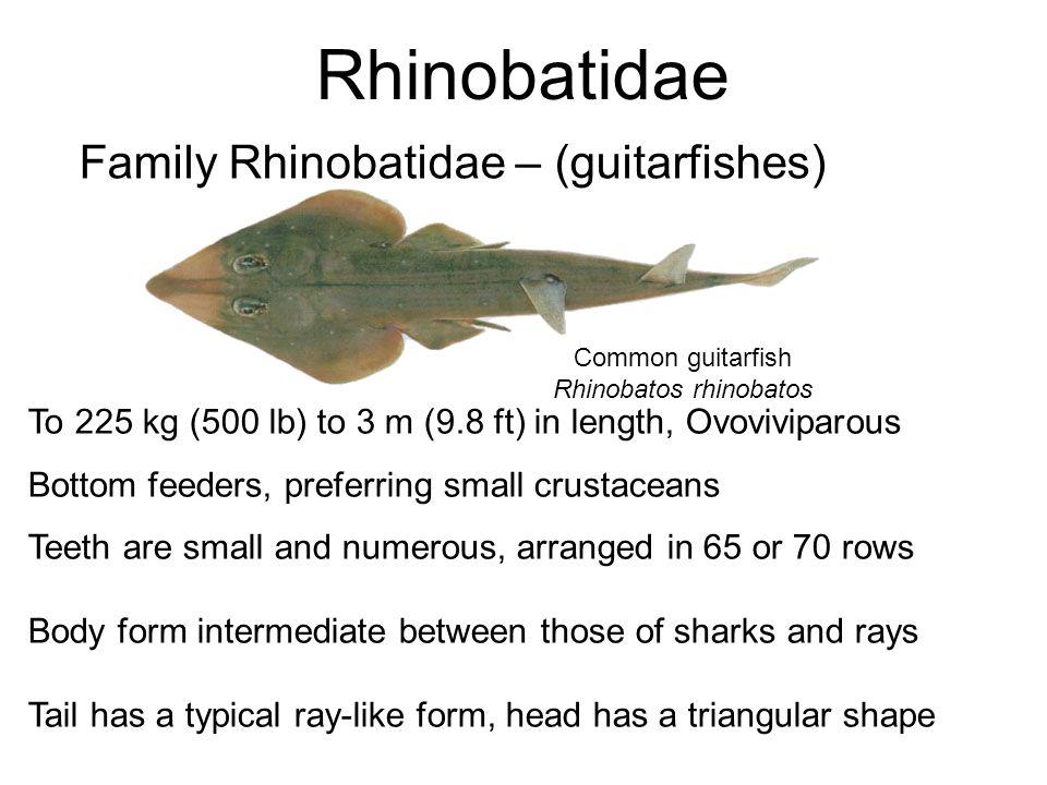 Rhinobatos rhinobatos