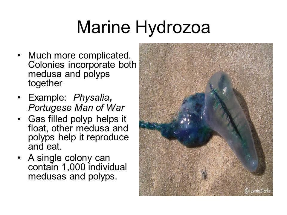 Marine Hydrozoa Much more complicated. Colonies incorporate both medusa and polyps together. Example: Physalia, Portugese Man of War.