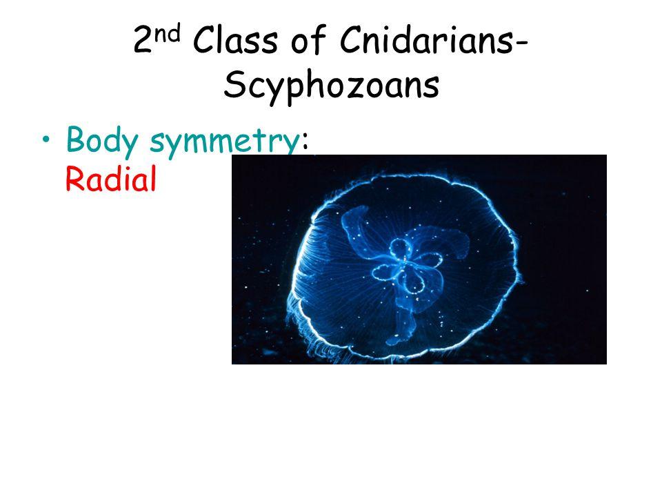 2nd Class of Cnidarians- Scyphozoans