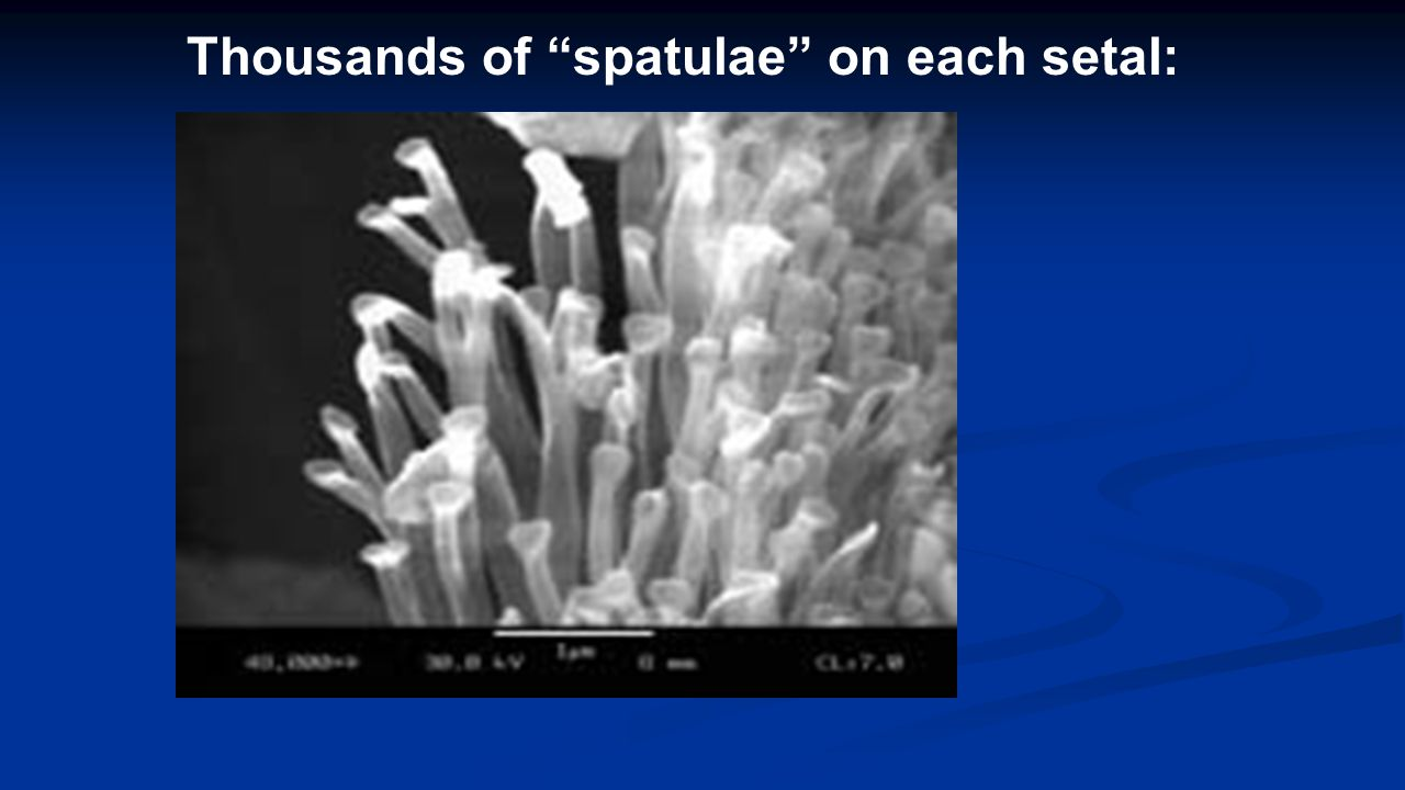 Thousands of spatulae on each setal: