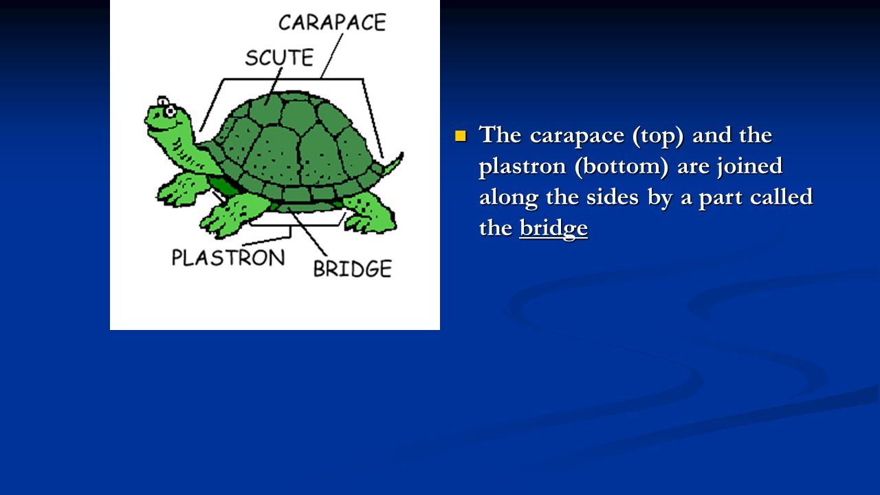 The carapace (top) and the plastron (bottom) are joined along the sides by a part called the bridge