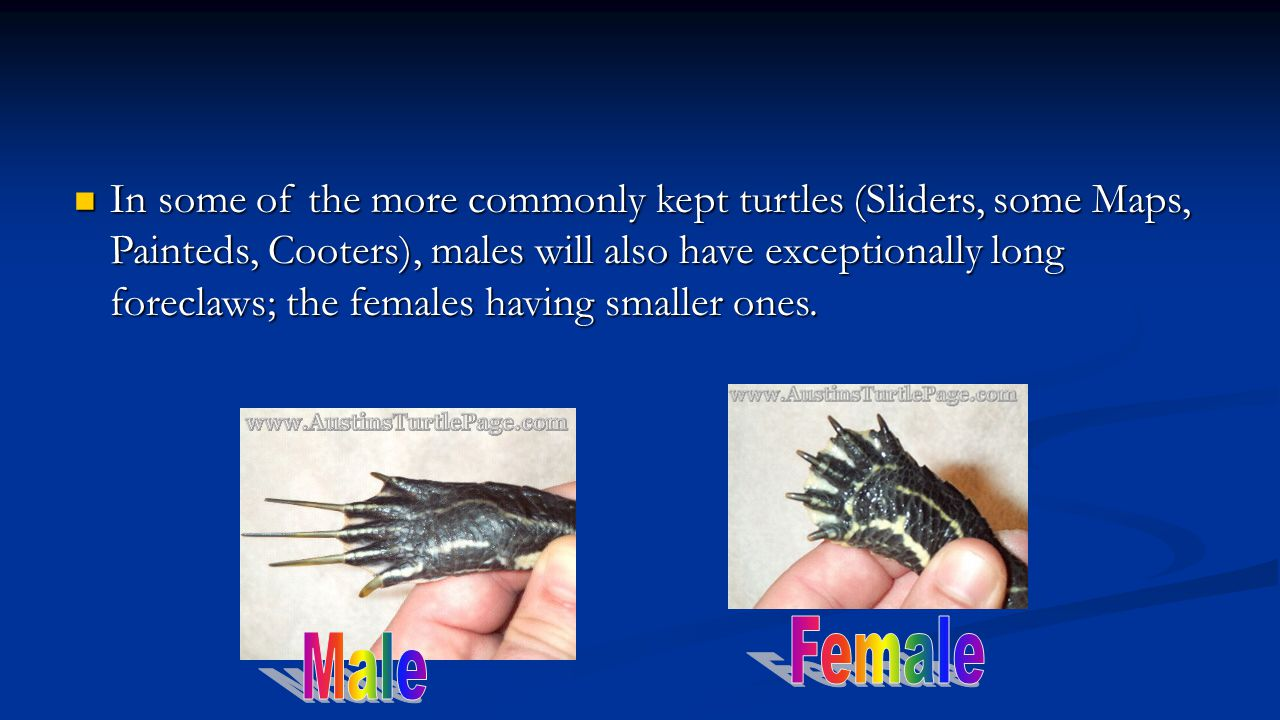 In some of the more commonly kept turtles (Sliders, some Maps, Painteds, Cooters), males will also have exceptionally long foreclaws; the females having smaller ones.