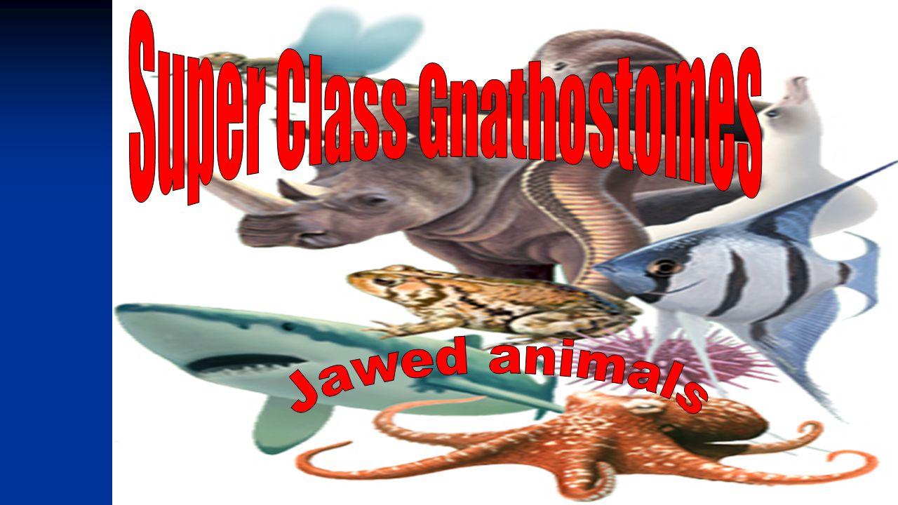 Super Class Gnathostomes
