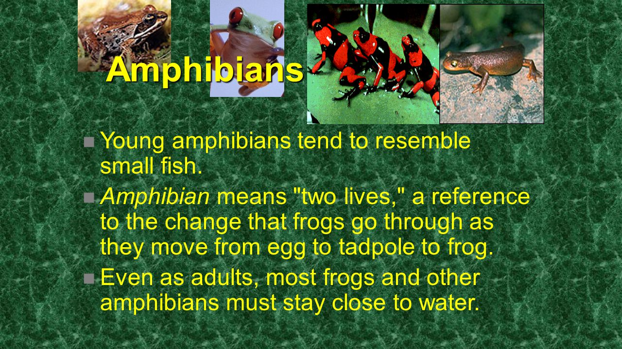 Amphibians Young amphibians tend to resemble . small fish.