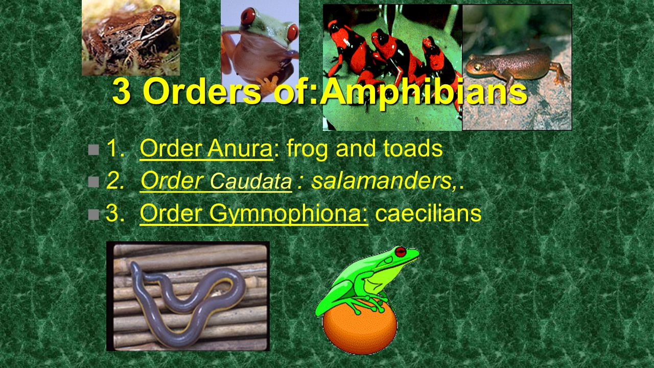 3 Orders of:Amphibians 1. Order Anura: frog and toads