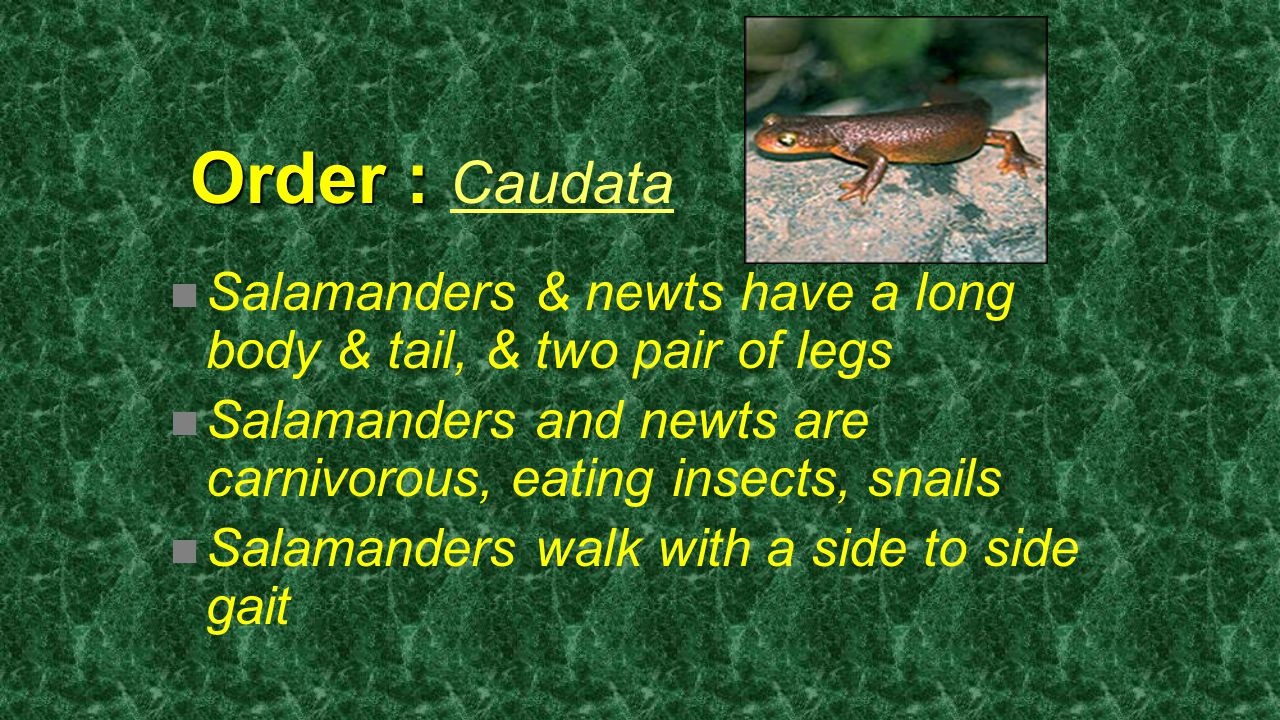Order : Caudata Salamanders & newts have a long body & tail, & two pair of legs. Salamanders and newts are carnivorous, eating insects, snails.
