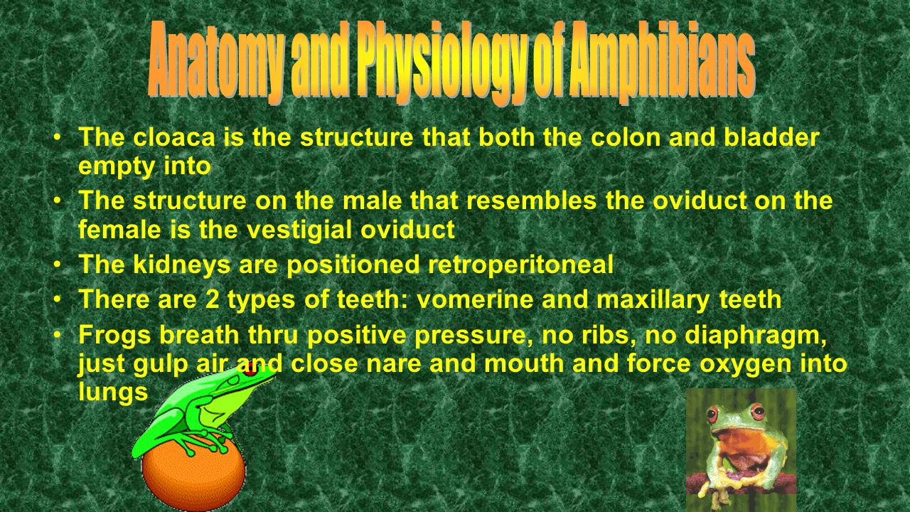 Anatomy and Physiology of Amphibians