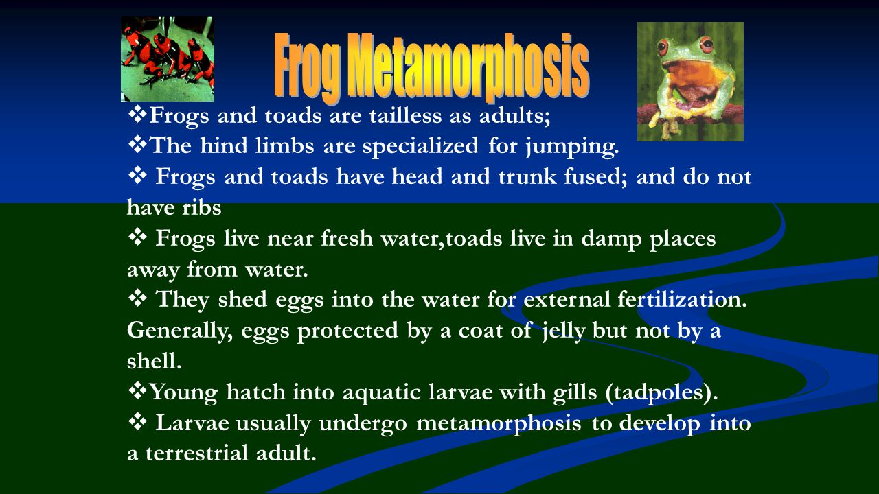Frog Metamorphosis Frogs and toads are tailless as adults;