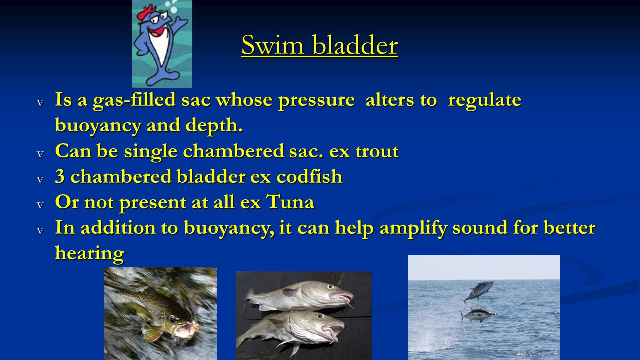 Swim bladder Is a gas-filled sac whose pressure alters to regulate buoyancy and depth. Can be single chambered sac. ex trout.