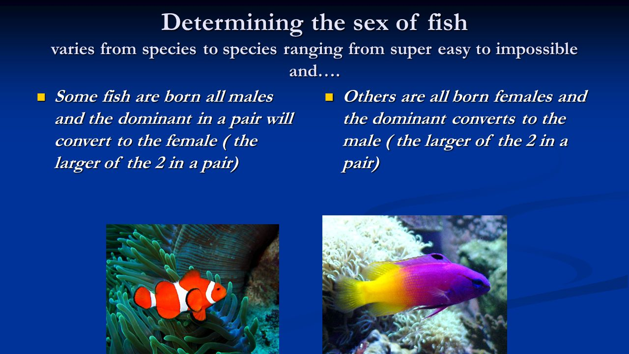 Determining the sex of fish varies from species to species ranging from super easy to impossible and….