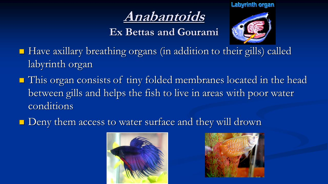 Anabantoids Ex Bettas and Gourami