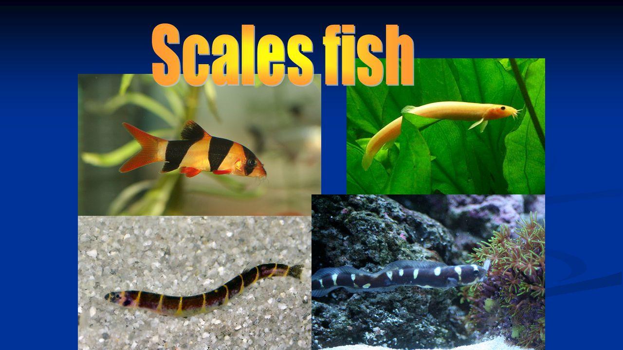 Scales fish