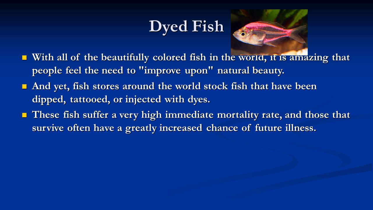 Dyed Fish With all of the beautifully colored fish in the world, it is amazing that people feel the need to improve upon natural beauty.