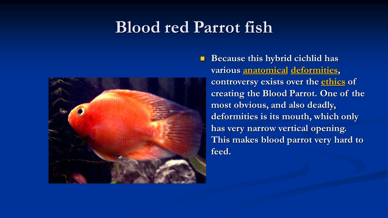 Blood red Parrot fish