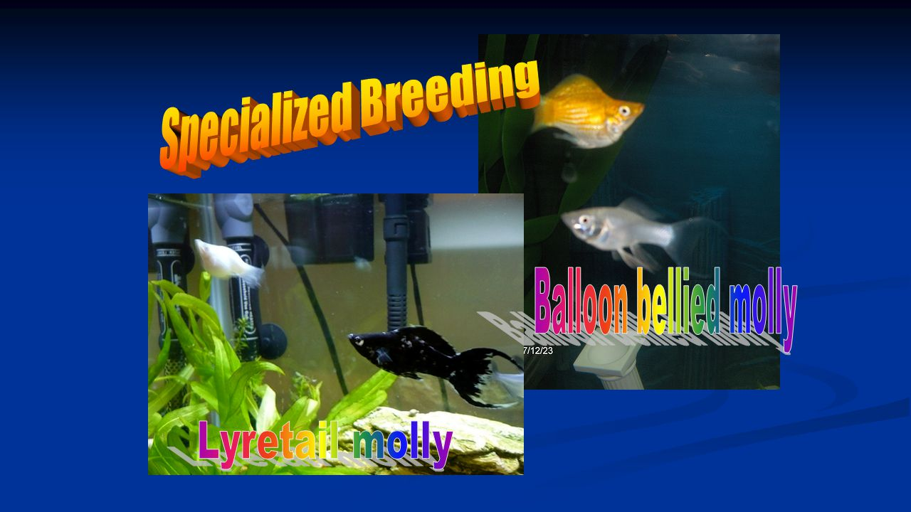 Specialized Breeding Balloon bellied molly Lyretail molly